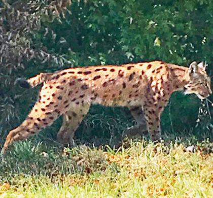 Lynx aperçu près de L'Isle