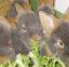 Vufflens-la-Ville – Un lapin champion d'Europe