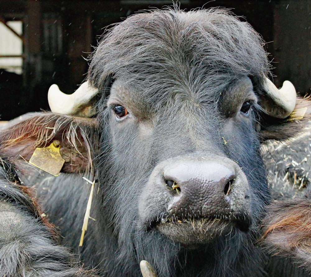 Des bufflonnes à Gollion