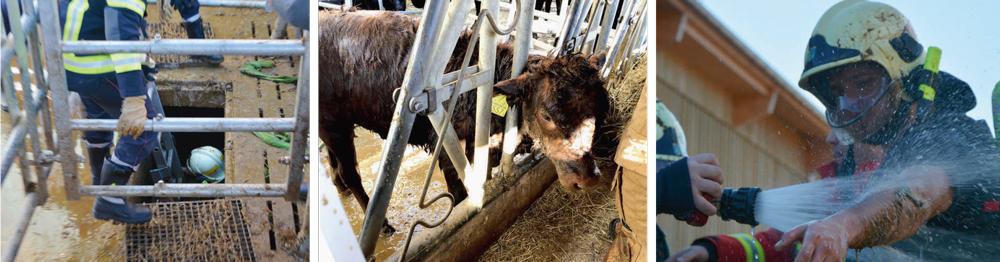 Sauvetage d'un veau tombé dans une fosse à purin à Moiry