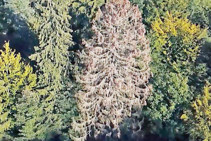 A cause des conditions météo, les forêts sont affaiblies