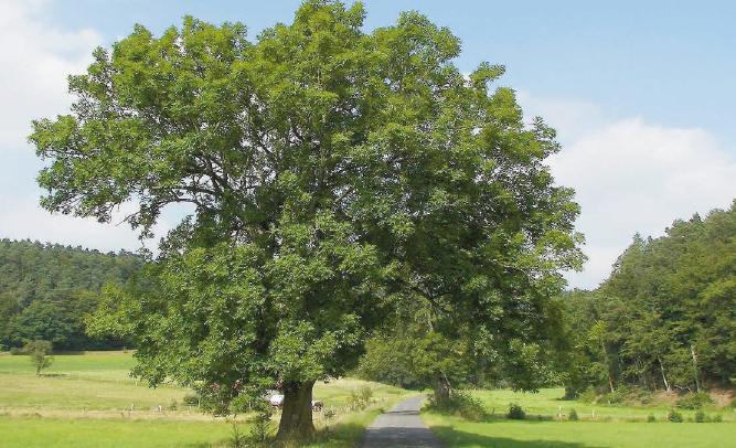 L'avenir du frêne menacé ?