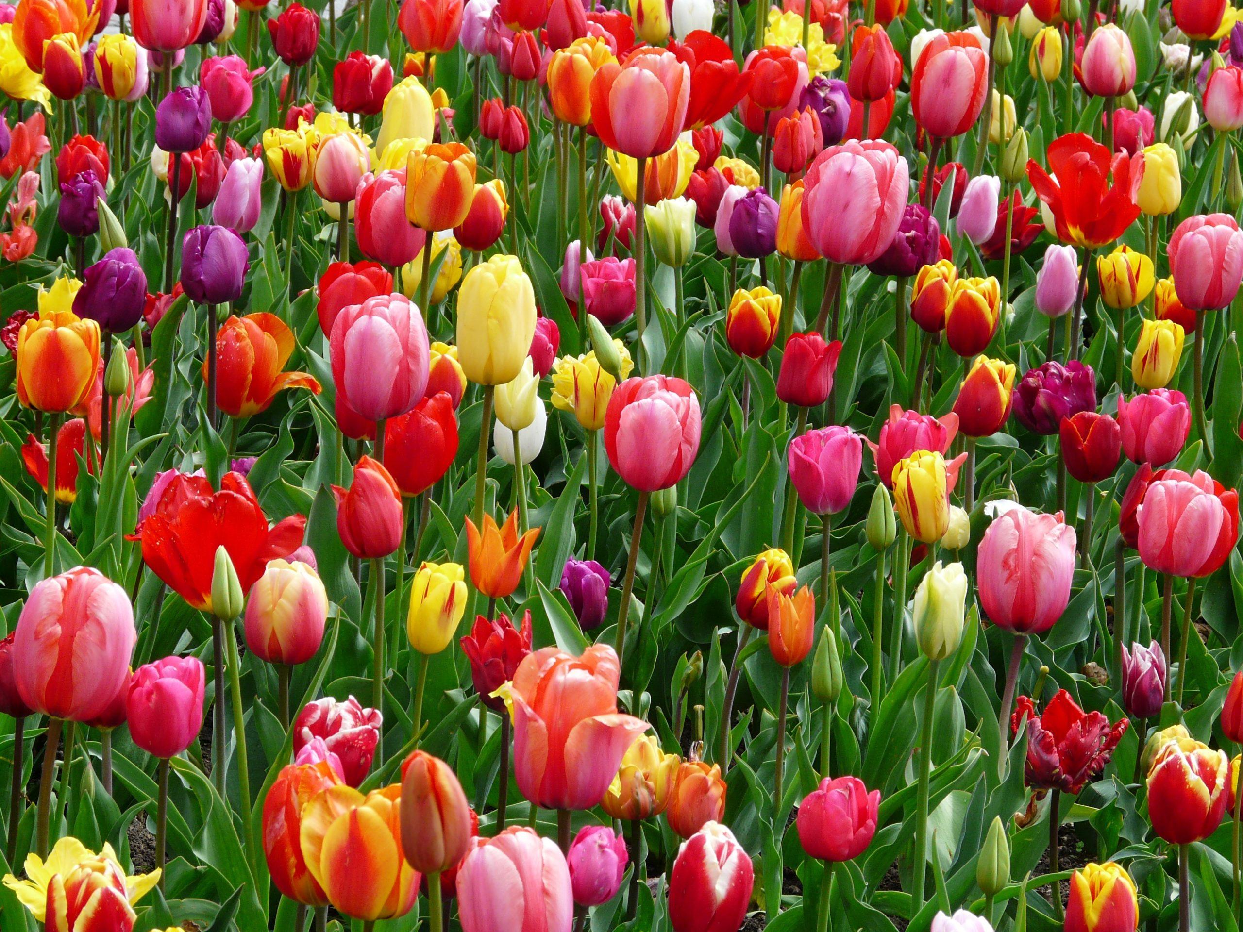 La 50e Fête de la Tulipe à Morges s'invite chez vous grâce à ses vidéos